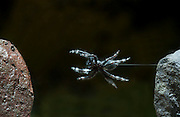 Bold Jumping Spider (Phidippus audax) captured in mid-jump with a high-speed camera. © Michael Durham / www.Durmphoto.com.
