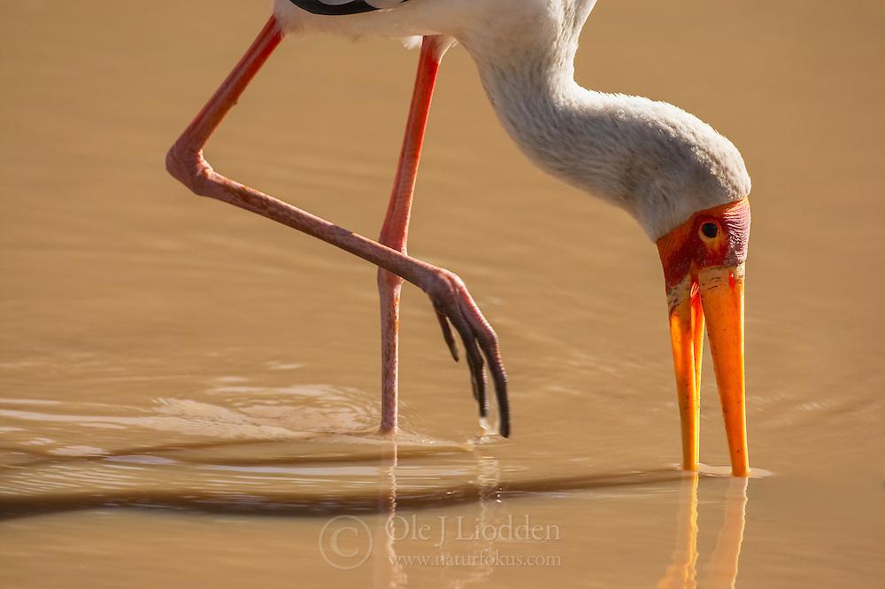 Yellow-billed Stork (Mycteria ibis) in Masai Mara, Kenya