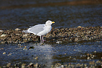 Glaucous-winged Gull (Larus glaucescens) on beach, Brickyards Beach, Gabriola Island, British Columbia, Canada