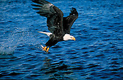Alaska. Bald Eagle (Haliaeetus leucocephalus) flying with a fish in its talons.  Eagles live near water .  There are more bald eagles in Alaska than all the other states combined.