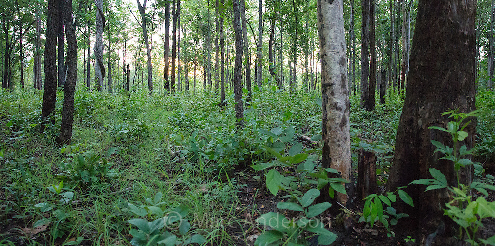 Regrowth and trees in recently burnt deciduous forest in Huai Kha Khaeng Wildlife Sanctuary, Thailand