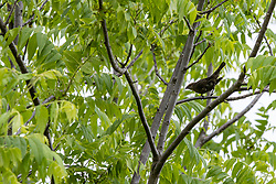 Brown-headed cowbird in the cover of a tree.