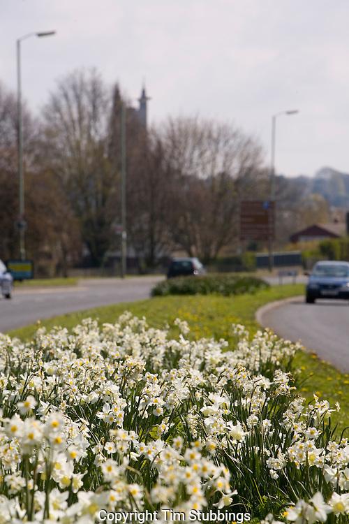 Daffodils, Rheims Way, Canterbury, Kent, England, UK