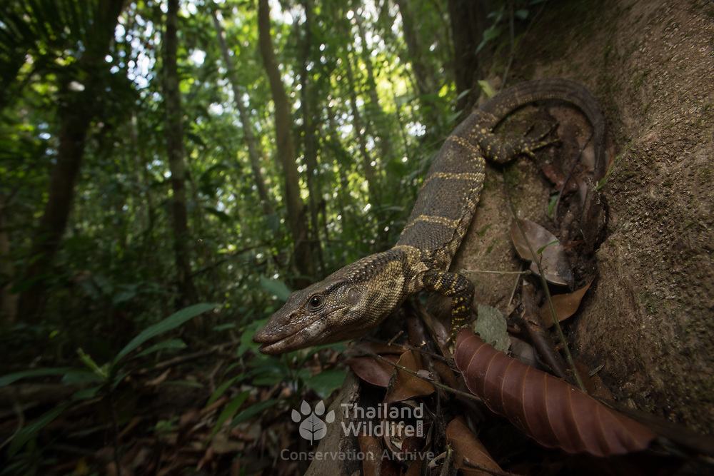 Dumeril's Monitor Lizard (Varanus dumerilii) in Krabi, Thailand