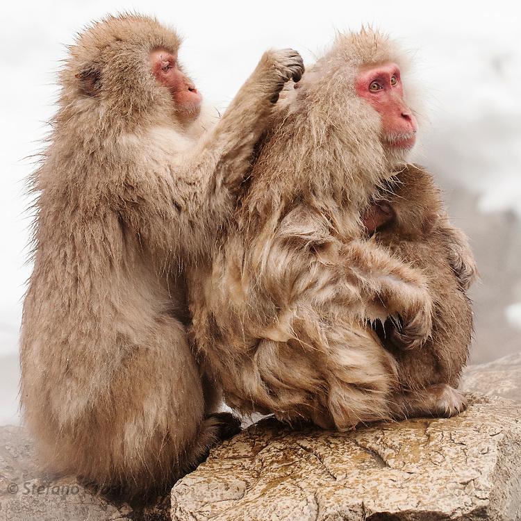 JAPAN, Jigokudani Yaen-koen, Nagano (Honshu).Snow monkey (Macaca fuscata) grooming a female with her baby