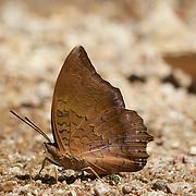 The Tawny Rajah, Charaxes bernadus crepax. Chaloem Phrakiat Thai Prachan National Park, Thailand.