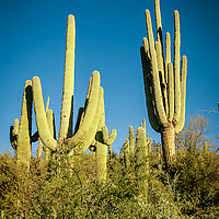 Saguaro Forests