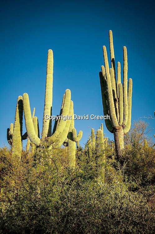 Cluster of saguaros above Cave Creek in Spur Cross Recreation Area.