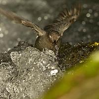 American dipper feeding along Hyalite Creek near Bozeman, Montana.