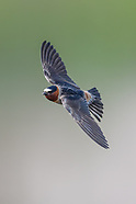 CLIFF SWALLOWS ON THE WING