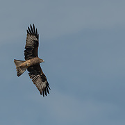 The black kite (Milvus migrans) is a medium-sized bird of prey in the family Accipitridae, this is the sub-species the Black-eared kite (Milvus migrans lineatus).
