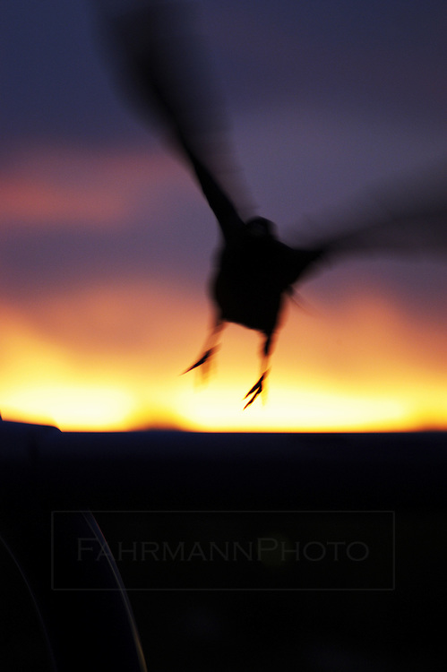 A crow takes off from its perch at sunrise