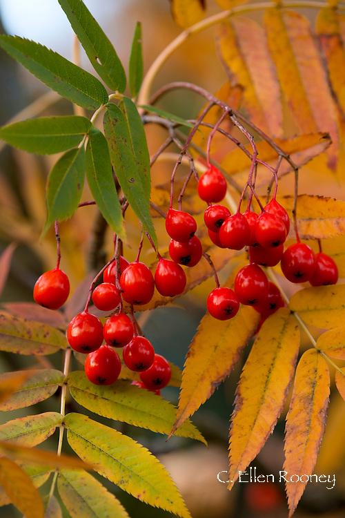 Red berries on a rowan tree (Sorbus Aucuparia) in the autumn in Kew Gardens, London, UK