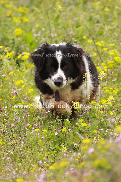 Dog runs in a blooming field of wildflowers