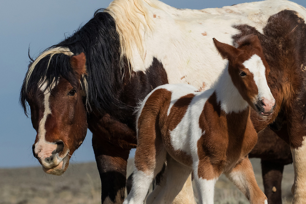 The young colt, Weetonka, is quick to follow orders when his sire, Moon Pie, decides his band should head to the waterhole.