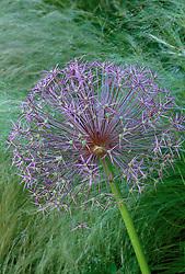Allium cristophii syn. Allium christophii, A. albopilosum in front of Stipa tenuissima at Glen Chantry, Essex