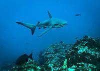 Galapagos Shark, Carcharhinus galapagensis