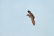 Green-winged Teal, Anas crecca, male, Saginaw Bay, Michigan
