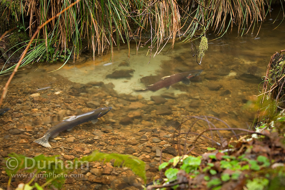 A female coho salmon (Oncorhynchus kisutch) (left) gaurds her redd in Thompson Creek while a male protects the eggs from other males who might try and fertilize the nest. Oregon Coast.