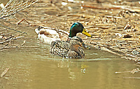 A Mallard pair swims in the cattails.