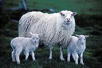 Iceland, sheep