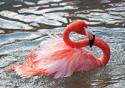 pink flamingo splashing in water