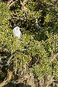 Great Egret Perched in Live Oak