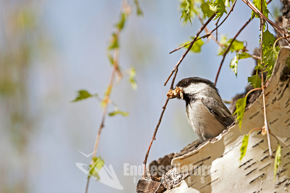 A Black Capped Chickadee cleans out a hollow branch in a birch tree for its nest it is April in Utah.