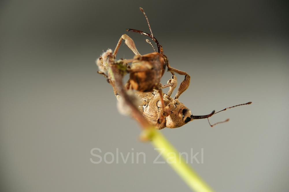 [captive] Acorn weevil (Curculio glandium)   Eichelbohrers (Curculio glandium)