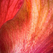 Macro photograph of an orangey-pink hibiscus flower.