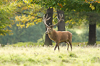 Red Deer in atumnal colours, Cervus elaphus, Cheshire, October