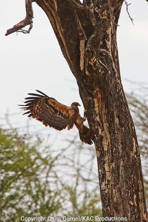Tawny Eagle (Aquila rapax) foraging in tre cavities along a tree trunk with wings extended, Tarangire National Park, Tanzania, Africa; bird of prey; carnivore; foraging