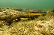 Brutplatz eines Fisches in einem Seitenfluss des Rio Paraguay im s&uuml;dlichen Pantanal, Brasilien<br /> <br /> Breeding area of a fish in an inlet of the Rio Paraguay in the southern Pantanal, Brazil