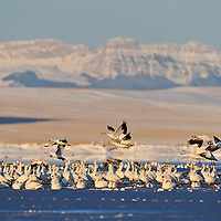flocks of snow geese rest on freezeout lake, montana, rocky mountain front, crown of the continent