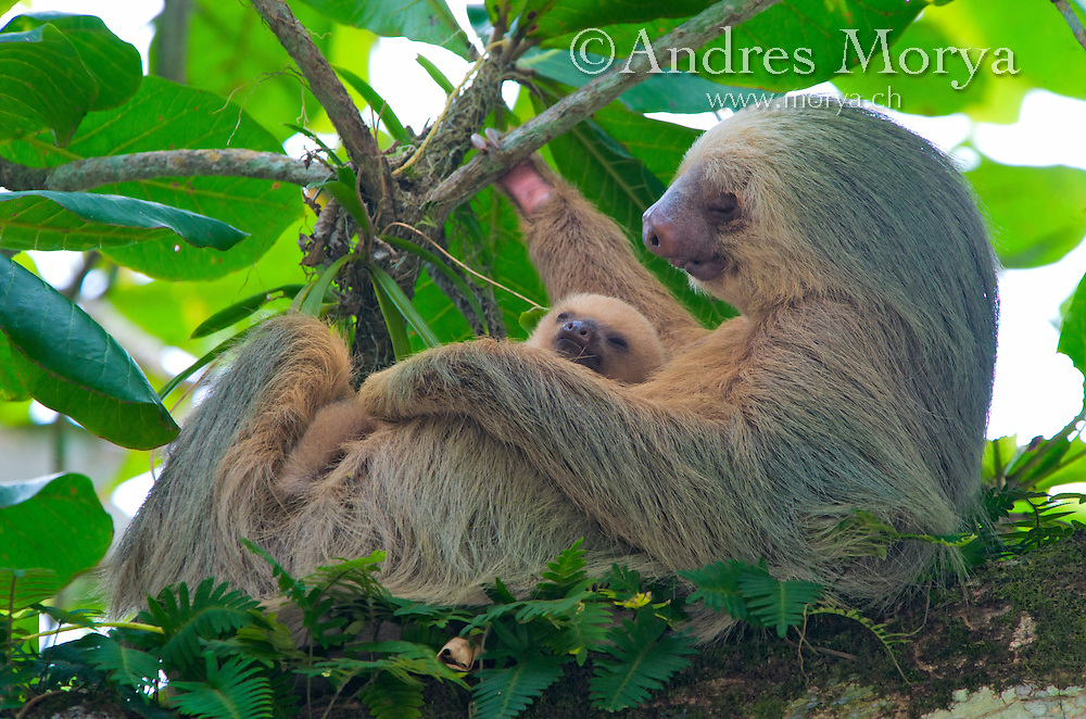 Two-Toed Sloth or Hoffmann's two-toed sloth (Choloepus hoffmanni) is a species of sloth from Central and South America. It is a solitary nocturnal and arboreal animal, found in mature and secondary rainforests and deciduous forests. Image by Andres Morya