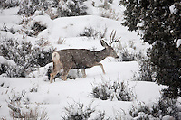 January 2017 the snows are finally falling with strength now all the animals like this young Mule Deer buck are doing everything they can to stay warm and find enough to eat to keep their fat supplies up.