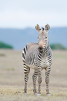 Cape Mountain Zebra stallion, De Hoop Nature Reserve and marine protected area, Western Cape, South Africa