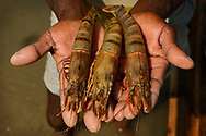 Shrimps and prawns, Pulicat Lake, India