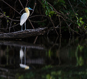 Capped Heron (Pilherodius pileatus) on the banks of Cristalino River, southern Amazon, Brazil.