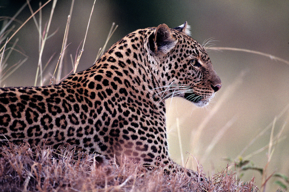 Africa, Kenya, Masai Mara Game Reserve, Adult Female Leopard (Panthera pardus) resting in tall grass in early morning