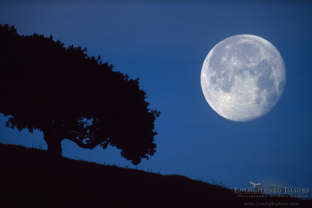 Moonset in pre-dawn light next to lone oak tree in the Briones Region, Contra Costa County, California