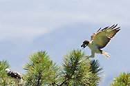Short-tailed Hawk (Buteo brachyurus) female, bringing a White-breasted Nuthatch prey item to nest; Arizona, (Nesting Record)