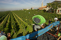 harvest time at Chateau Petrus, home of one of the most prestigious wines in the world