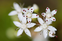 Flowers of White Stonecrop  (Sedum album), close-up. Pont-du-Chateau, Auvergne, France.