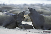 Northern Elephant Seal <br /> Mirounga angustirostris<br /> Females squabbling over newborn pup (still wet from birth)<br /> Ano Nuevo State Reserve, CA, USA
