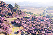 Derbyshire, UK - Aug 2015: Pathway through a rocky hillside covered with pink heather in flower on 28 Aug at Burbage South Edge, Peak District