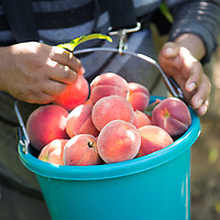 Gabriel Nava fills a bucket with freshly-picked peaches Wednesday morning at Cherry Creek Orchards in Pontotoc.