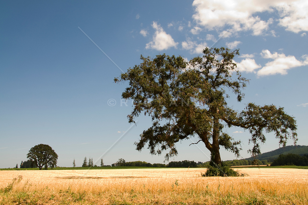 tree and field in rural Oregon