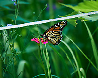 Monarch Butterfly (Danaus plexippus). Image taken with a Nikon D5 camera and 80-400 mm VRII lens