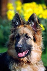 Alsatian, German shepherd dog, England, UK.<br /> Photo © Ed Maynard<br /> +44 (0) 7976 239803<br /> www.edmaynard.com<br /> mail@edmaynard.com